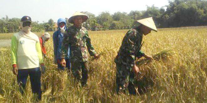 Babinsa Desa Padas Turun Sawah Panen Raya Bersama Poktani
