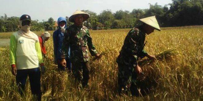 Babinsa Desa Padas Turun Sawah Panen Raya Bersam Poktani