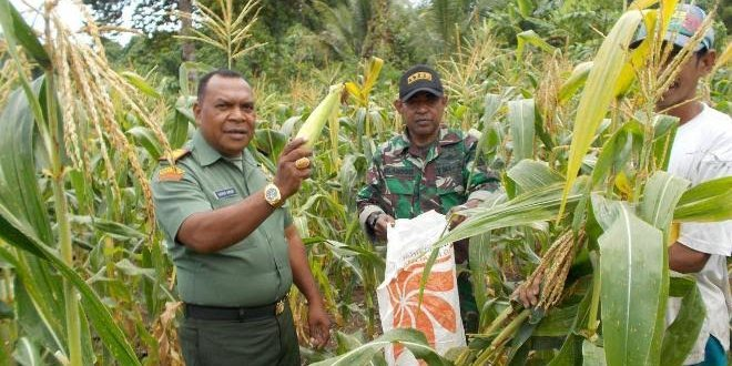 Koramil 1709-01/Yapsel melaksanakan panen jagung di Panduami Distrik Kosiwo