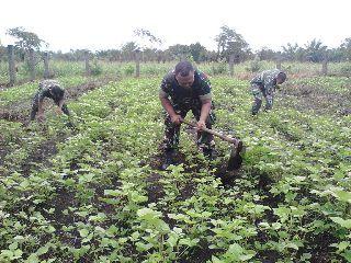 Anggota koramil 05 merawat kebun kacang hijau