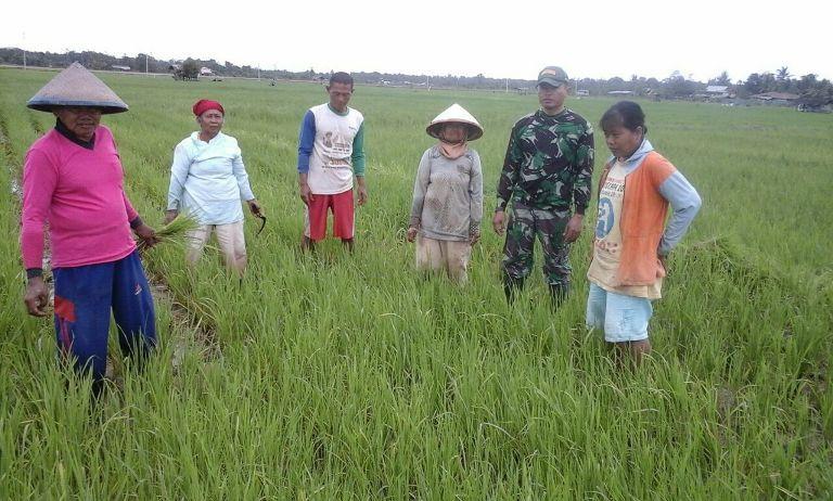 Babinsa Ramil 01 Sorong Timur Melaksanakan Penyemprotan Hama Padi dan Membersihkan Rumput