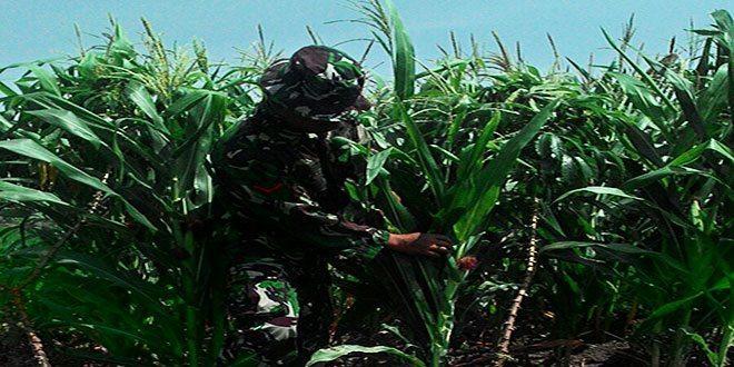 Babinsa Koramil Kwanyar Intensif Pantau Perkembangan Bibit Pertanian