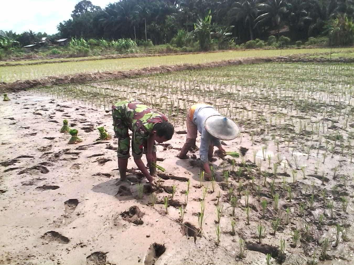 babinsa menanam padi