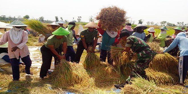 Babinsa dan Petani Ramai-ramai Panen Padi Di Dumplengan Ngawi