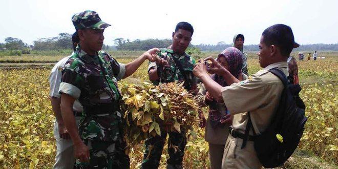 Babinsa Koramil 20/Buayan Bersama Petani Panen Perdana Kedelai