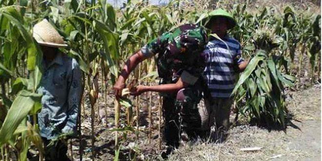 Pendekatan Babinsa Koramil 07/Sadang Bangkitkan Semangat Petani Jagung