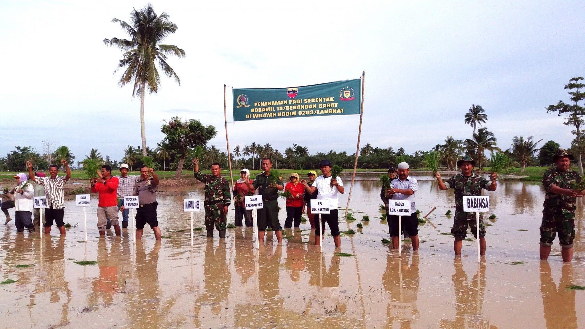 Musim Hujan Dimanfaatkan Tanam Padi Serentak Di Wilayah Koramil 18 Brandan Barat Kodim 0203/Lkt