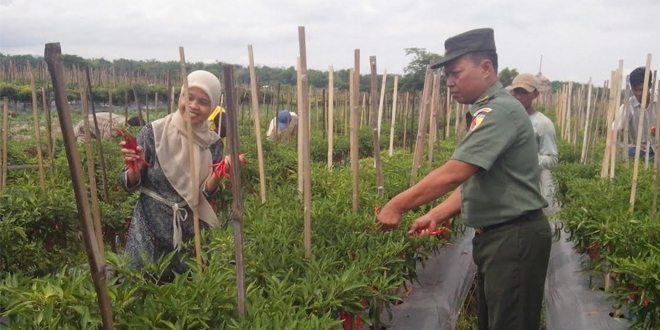 Babinsa Kodim Ngawi Bersama Petani Panen Cabe