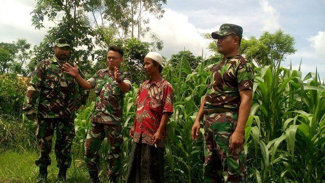 Babinsa Koramil Konang Intensif Pantau Perkembangan Tanaman Jagung