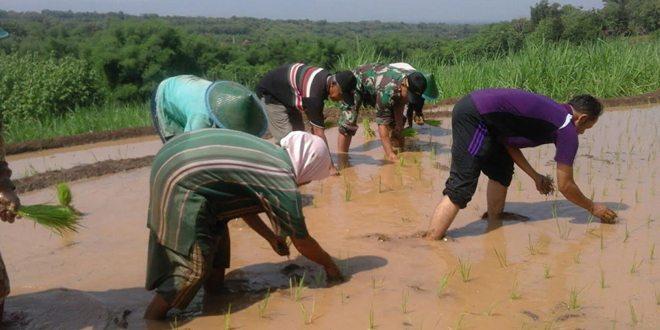 Babinsa Koramil Bringin Bantu Petani tanam padi di Desa Gandong Ngawi