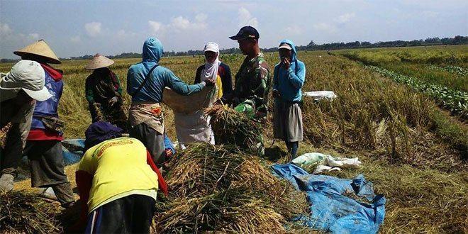 Babinsa Koramil 03/Wonosalam Turun ke Sawah Bantu Petani Panen Padi