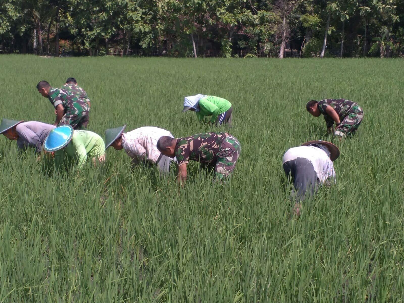 Swasembada Pangan, Babinsa Paron dan Petani Giat Monitoring Tanaman