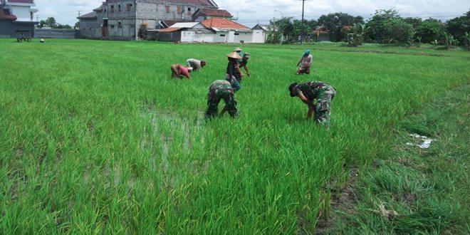 Babinsa Arosbaya dan Petani Turun Ke Sawah Bersihkan Gulma Tanaman Padi