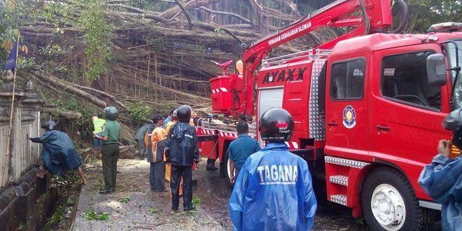 Babinsa Bersama SAR Dan BPBD Sleman Evakuasi Beringin Besar Yang Tumbang