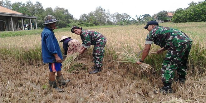 Babinsa Koramil 15/Geger Lakukan Pendampingan Panen Padi Lanjutan di Desa Lerpak