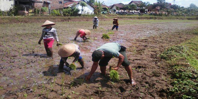 Babinsa Membantu Tanam Padi di Wilayah Binaanya