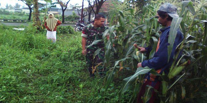 Babinsa Koramil 03/Parakan Mendampingi Petani Jagung di Desa Petarangan