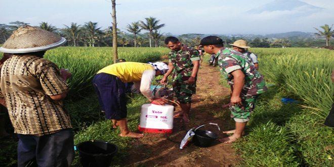 Babinsa Kormil 13/Kranggan Kodim 0706/Tmg Membantu Pelaksanaan Penyemprotan Hama Padi Dengan Masyarakat