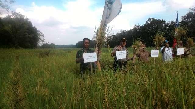 Danramil 08/Kuantan Mudik Panen Raya Padi Bersama Poktan Pelita Jaya Desa Sungai