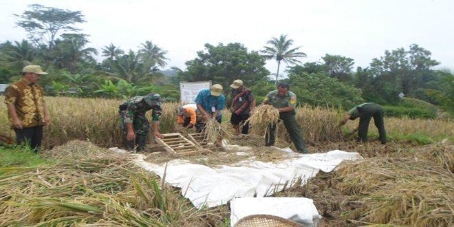 TNI dan PPL Panen Padi Situ Bagendit