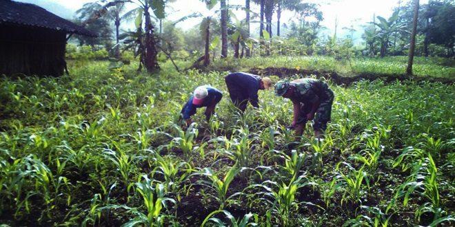 Koramil-10/Pringsurat Kodim 0706/Temanggung Melaksanakan Upsus Budidaya Jagung