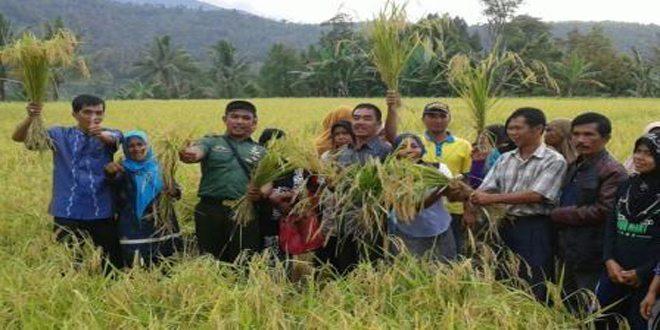 Babinsa Koramil 02/Lembang Jaya Kodim 0309/Solok Dampingi Panen Raya