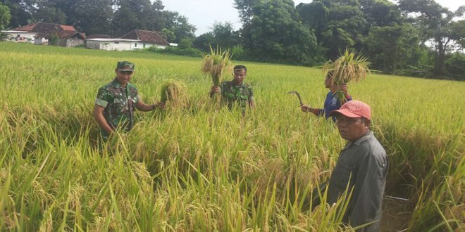 Swasembada Pangan, Babinsa Koramil Kota Turun Ke Sawah bersama Petani di Bangkalan