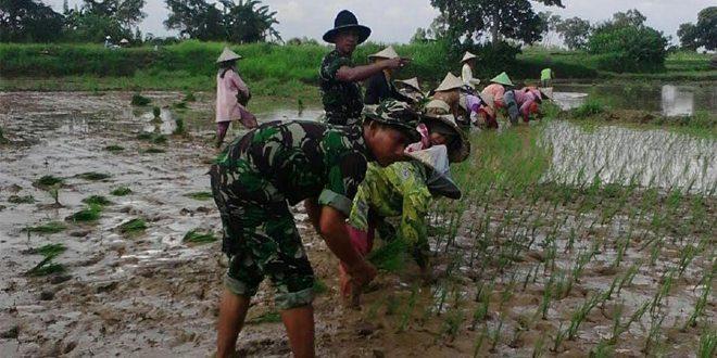 Babinsa Koramil Burneh Bangkalan, Tanam Padi Bersama Kelompok Tani