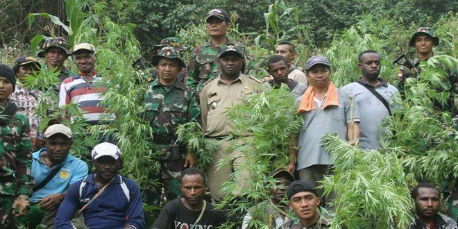Yonif Raider 700/WYS Temukan Ladang Ganja di Perbatasan RI-Papua Nugini