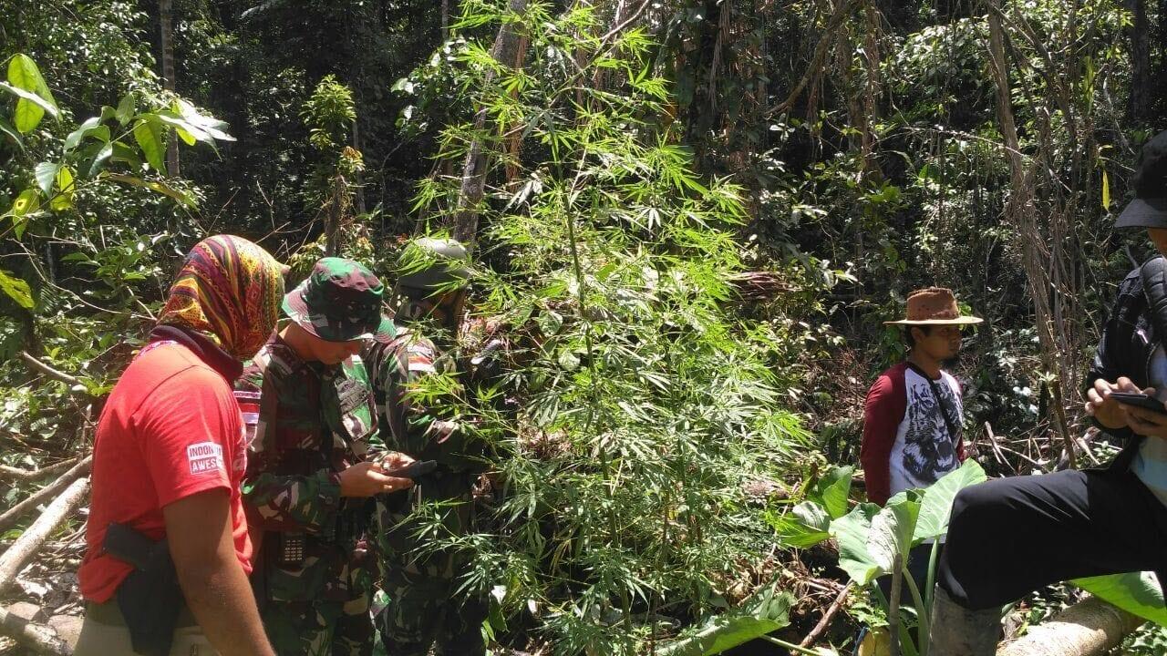 B. 08 Satgaspamtas Yonmek 516 CY Temukan Ladang Ganja Di Perbatasan RI – PNG (1)