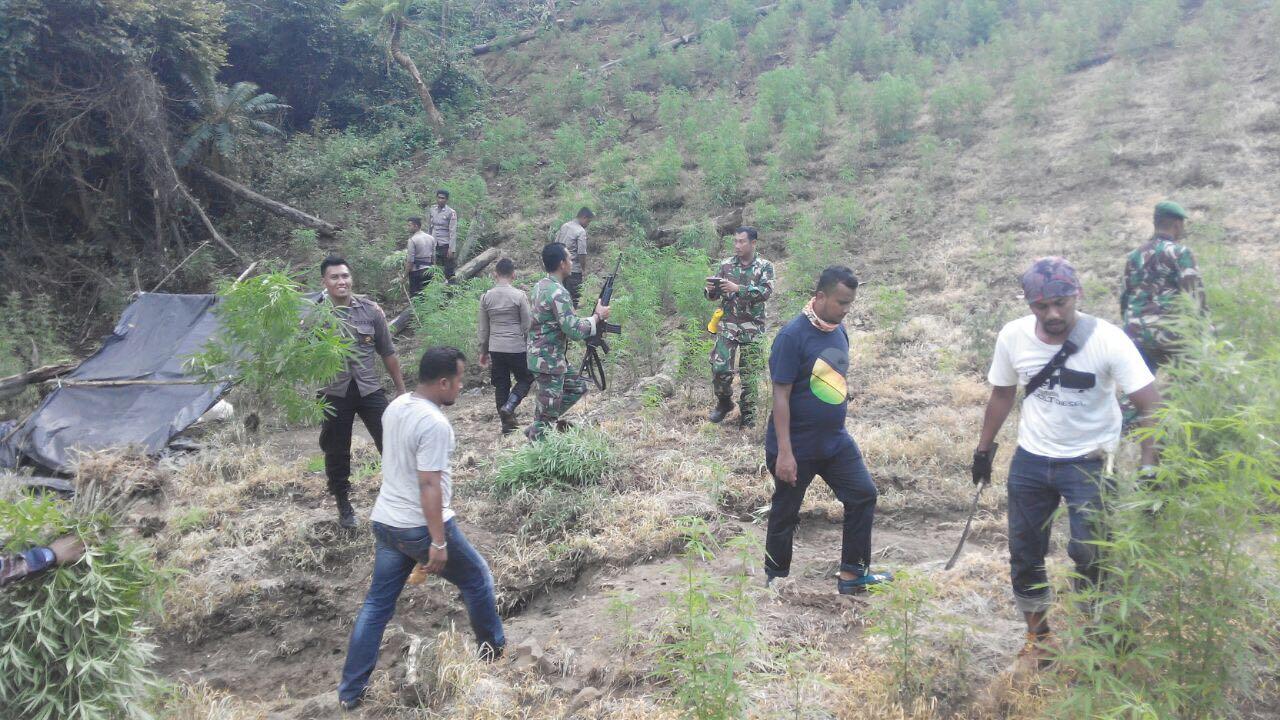 TNI/Polri Musnahkan Ladang Ganja Seluas Dua Hektare