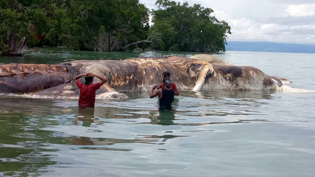 Cumi-Cumi Raksasa Ditemukan Terdampar di Pantai Maluku Tengah