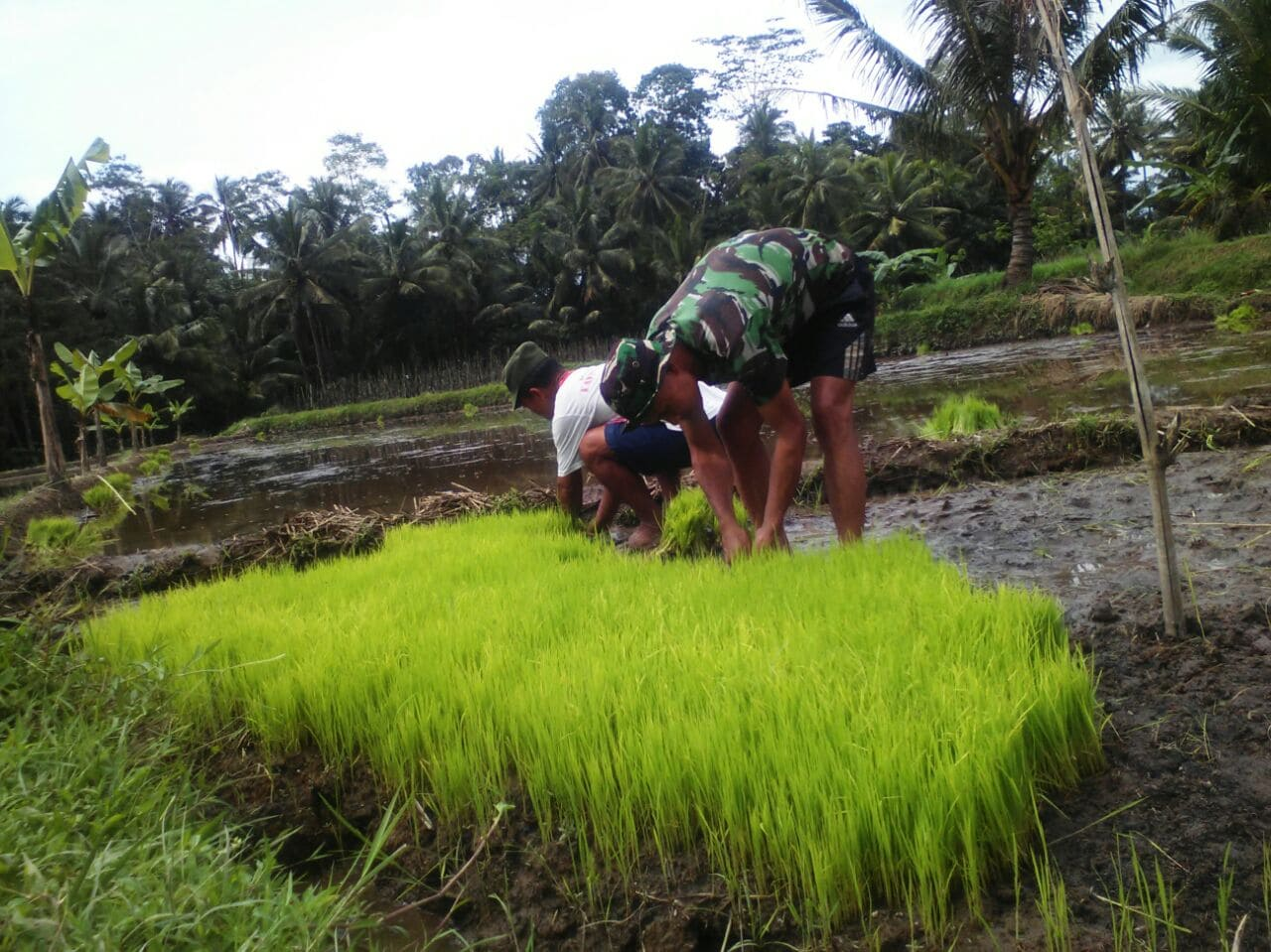 Babinsa Selalu Siap Membantu Para Petani di Sawangan