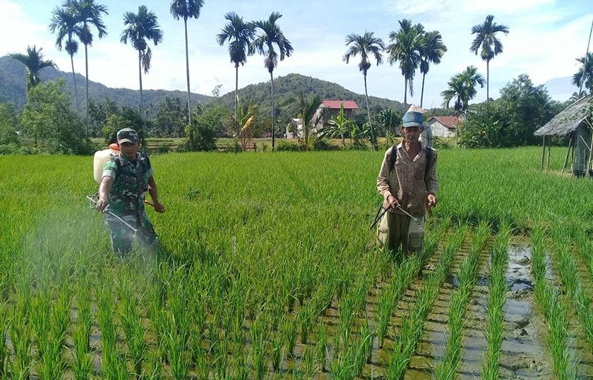 Babinsa Kodim Aceh Selatan Komitmen Lakukan Pendampingan Pertanian