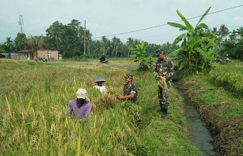 Suskseskan Swasembada Pangan, Babinsa Koramil Tugumulyo Terus Lakukan Pendampingan