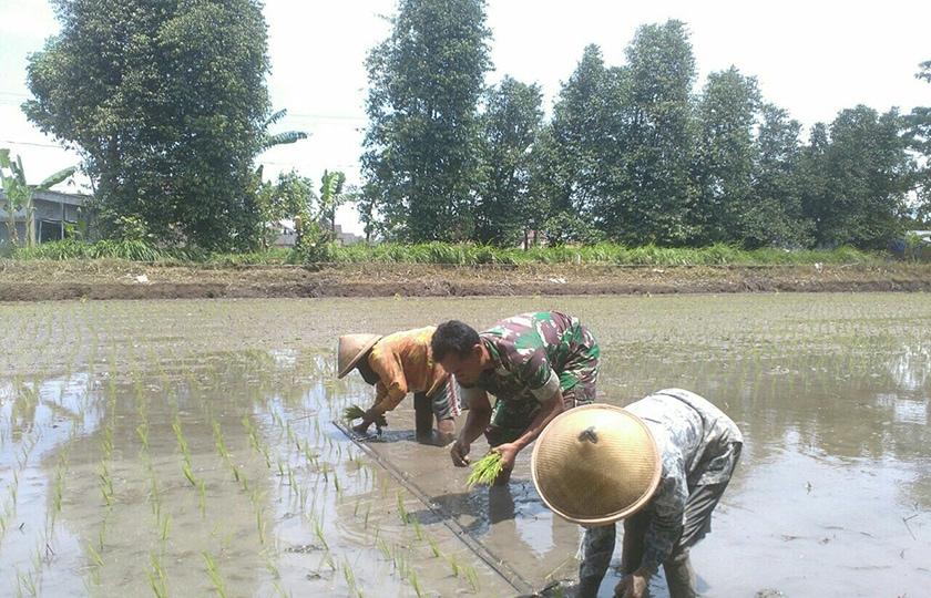 Babinsa Klaten Utara Dampingi Petani Terapkan Pengelolaan Tanaman Terpadu