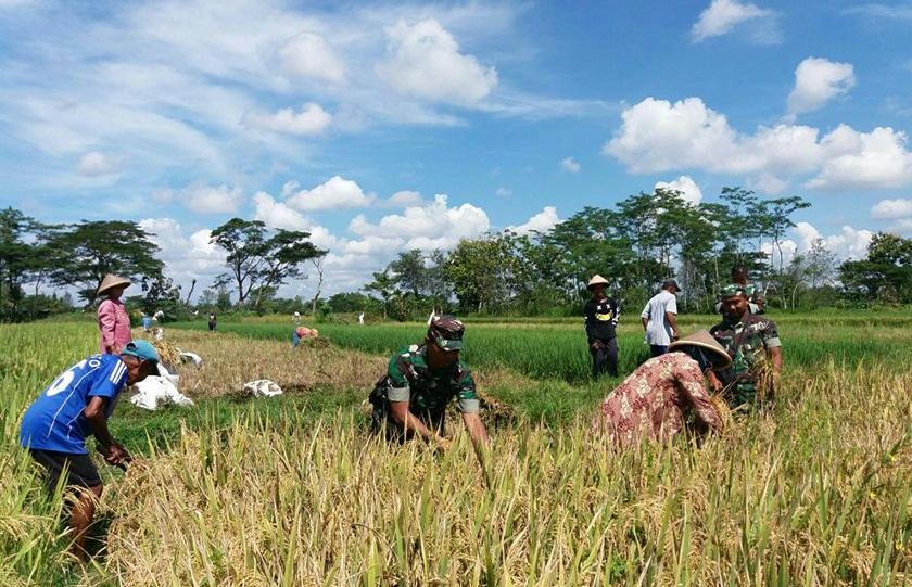 Babinsa Koramil 10/Gantiwarno Terus Lakukan Pendampingan Upsus Pertanian