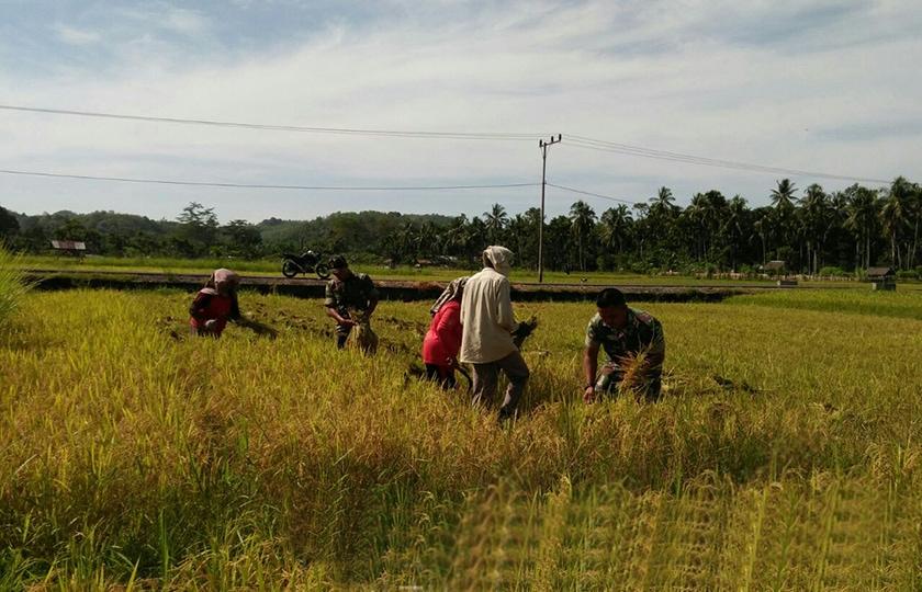 Kelompok Tani Merpati Bersama Babinsa Panen Perdana di Aceh Besar