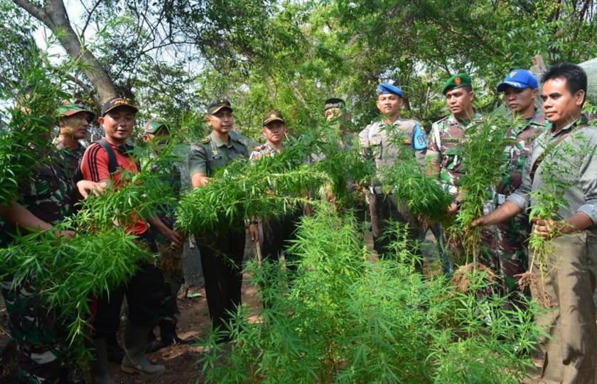 Kodim Aceh Utara Musnahkan 100 batang pohon Ganja di Ujung Blang Lhokseumawe