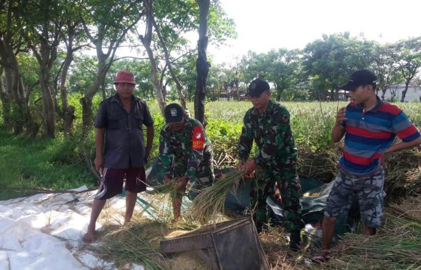 Berkat Babinsa, Panen Padi Puaskan Petani Desa Sindang