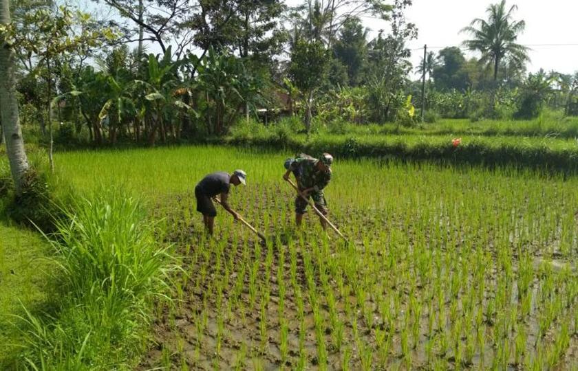 Babinsa Desa Bligo Bantu Petani Bersihkan Gulma