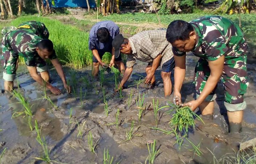 Sukseskan Swasembada Pangan, Babinsa Dampingi Petani Tanam Padi di Cipondoh