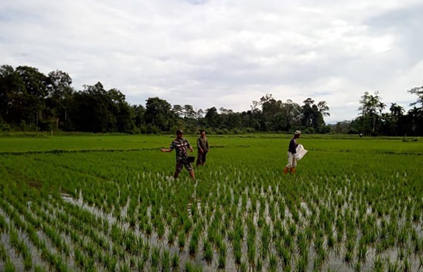 Babinsa Posramil Dampingi Warga Aceh Barat Memupuk Padi