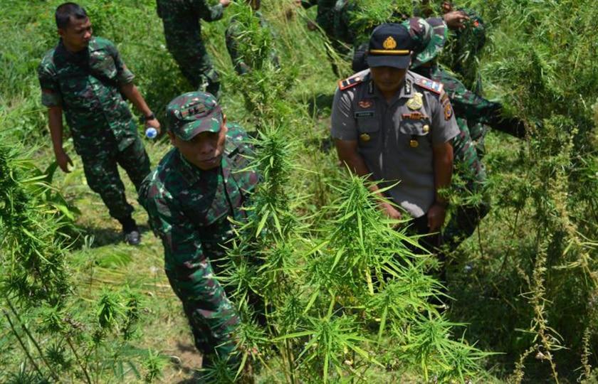 TNI-Polri Musnahkan 20 Hektar Ladang Ganja