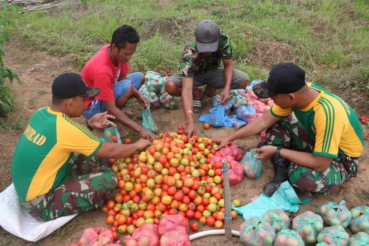 Bantu Panen Tomat, Satgas Yonif MR 411 Akselerasi Perekonomian Merauke