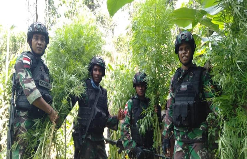 Satgas Yonif 509 Temukan Kebun Ganja 750 Meter Persegi di Perbatasan RI-PNG