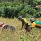 Dukung Ketahanan Pangan di Wiltas, Satgas Yonif MR 411 Bantu Panen Padi