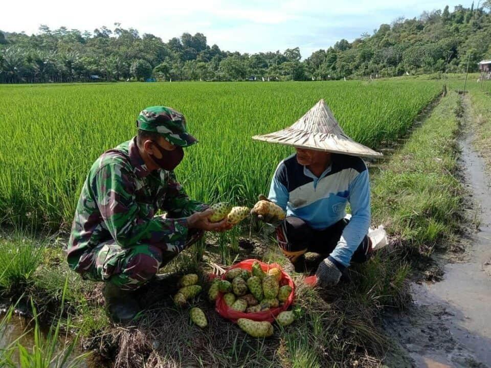 Mujarab, Mengkudu Babinsa Sertu Parwoto Bantu Petani Aceh Usir Tikus