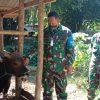 Bantuan Sapi Kurban dari Kasad Kepada Masyarakat Pulau Bungin
