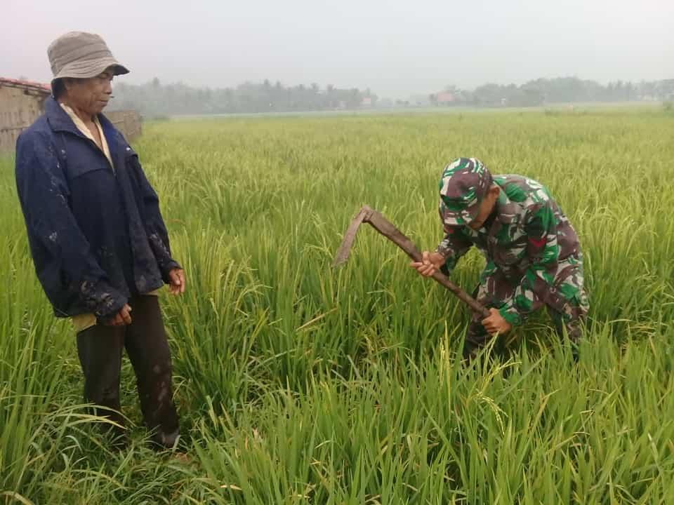 Sukseskan Ketahanan Pangan, Babinsa Carenang Dampingi Petani Rawat Tanaman Padi